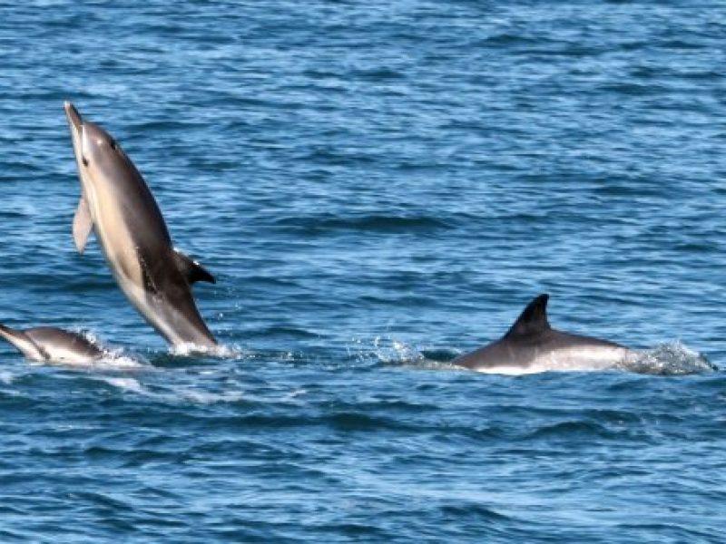 common-dolphin---tom-brereton-marine-life-24-main