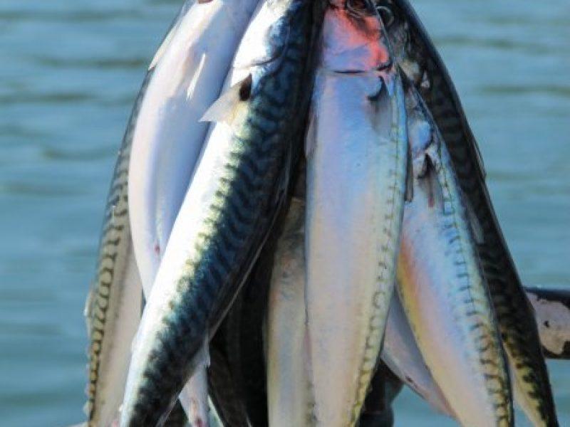 fresh-mackerel-11-main