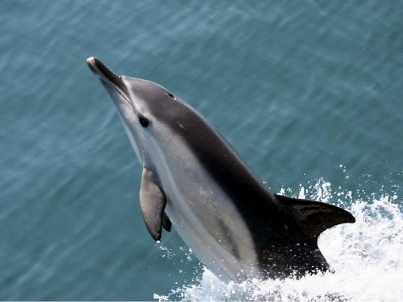 common-dolphin---tom-brereton-marine-life-22-main
