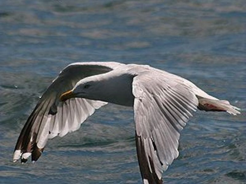 seagull-in-flight-7-main